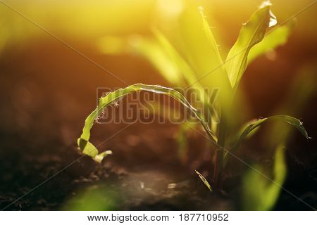 Young growing corn maize crop plant early stage of plant development selective focus
