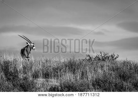 Gemsbok Standing On A Ridge And Starring.