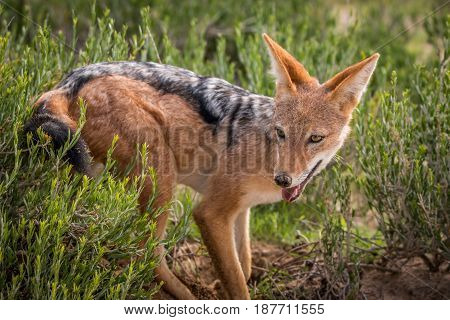 Black-backed Jackal Standing In The Grass.