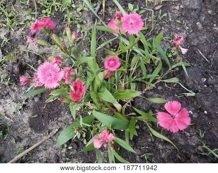 beautiful bright pink flowers in dark soil