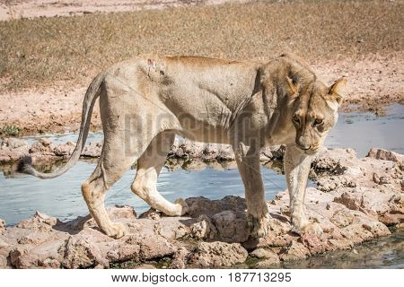 Lioness Standing At A Waterhole.