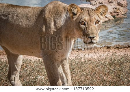 Lioness Starring At The Camera.