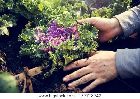 Hands planting organic fresh agricultural lettuce