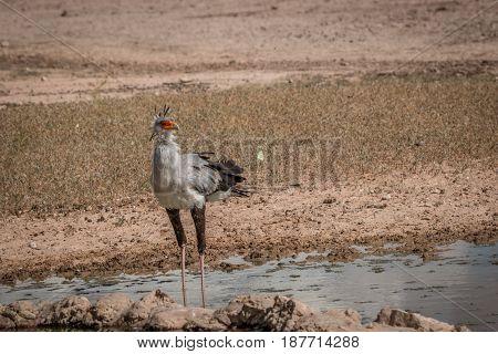 Secretary Bird Standing At A Waterhole.