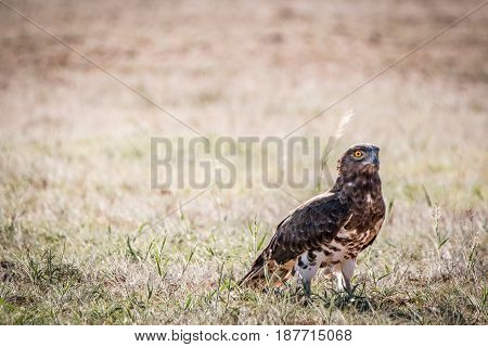 Juvenile Black-chested Snake Eagle In The Grass.