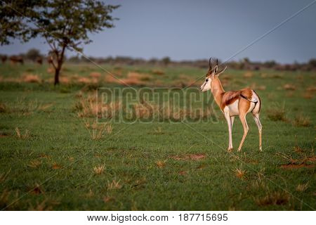 Springbok Standing In The Grass.