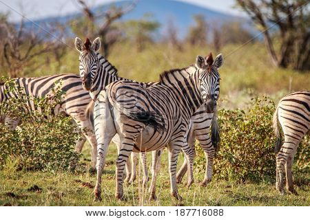 Zebras Standing In The Grass And Starring.