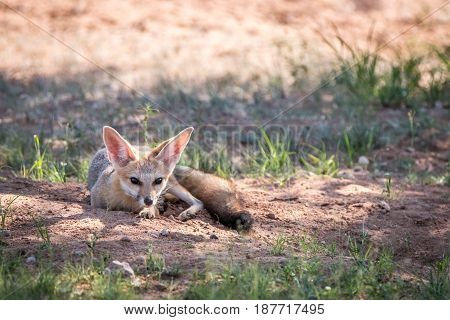 Cape Fox Laying In The Sand In Kgalagadi.
