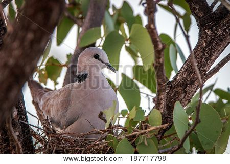 Cape Turtle Dove Sitting In Her Nest.