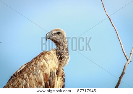 White-backed Vulture Starring At The Camera.