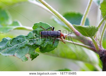 Image Of An Insect On An Apple Leaf