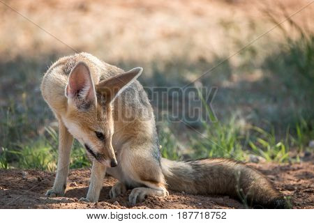 Cape Fox Looking Down In The Kgalagadi.