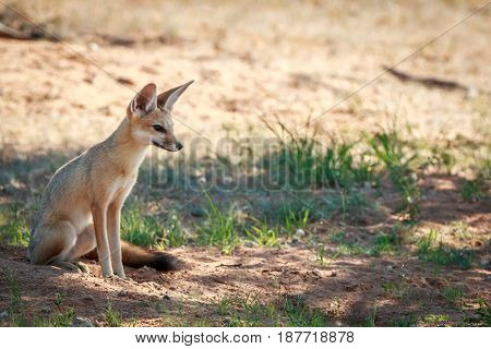 Cape Fox Sitting In The Sand In The Kgalagadi.