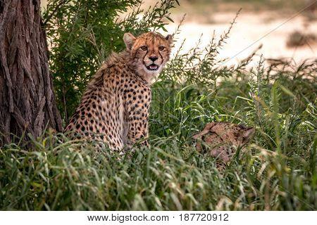 Cheetah Sitting And Starring At The Camera.