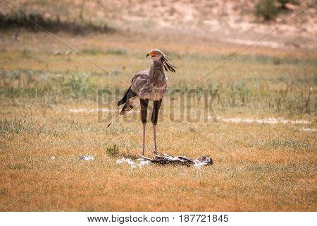 Secretary Bird Standing At A Kill.