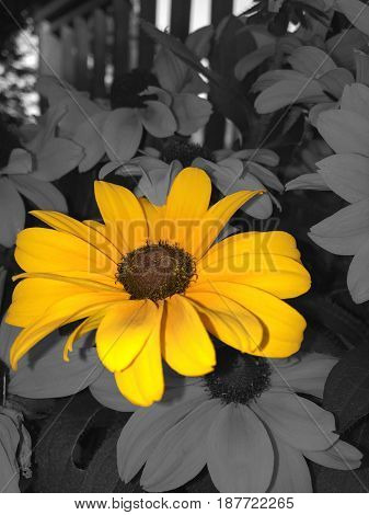 A patch of yellow/orange flowers. I use selective coloring to highlight only one flower and block out the rest.