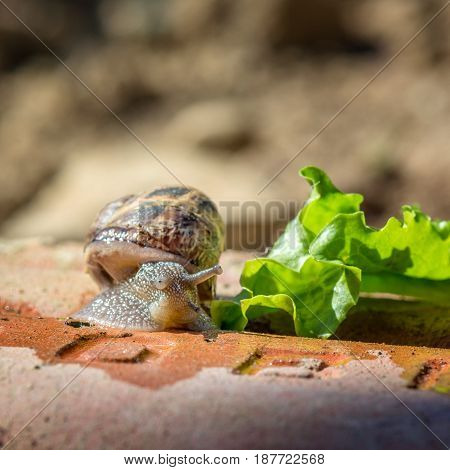 Springtime. Macro shot of a snail with green salad
