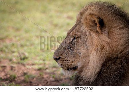 Side Profile Of A Big Male Lion.