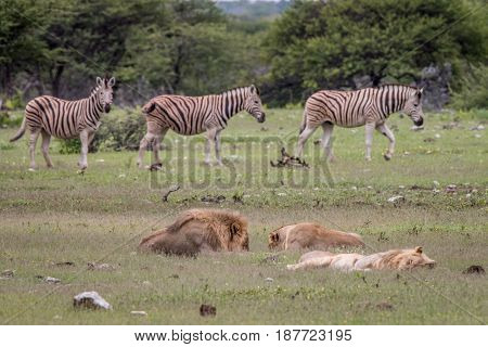 Pride Of Lions Sleeping In Front Of Zebras.