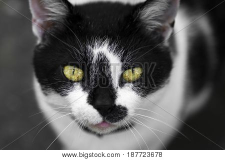 Animal portrait of black and white cat with yellow eyes looking at camera.