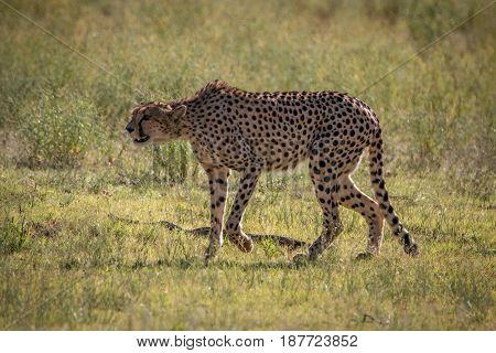 Cheetah Walking In The Grass In The Kgalagadi.