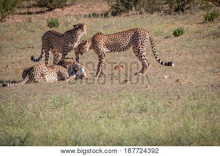 Cheetahs With A Springbok Kill In Kgalagadi.