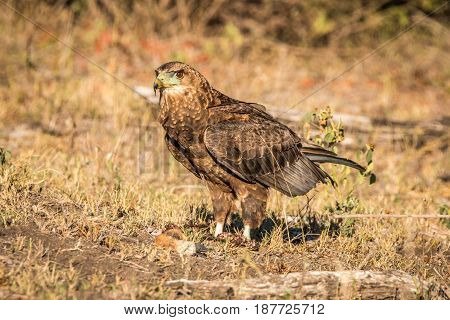 Juvenile Bateleur Standing In The Grass.