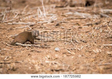 Dwarf Mongoose Walking In The Sand.