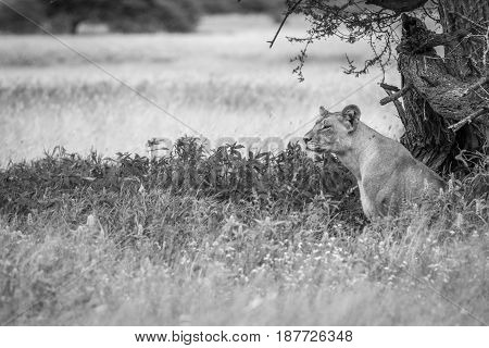 Lion Sitting In The High Grass In Black And White.