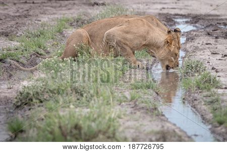 Lion Drinking From A Little Pool Of Water.