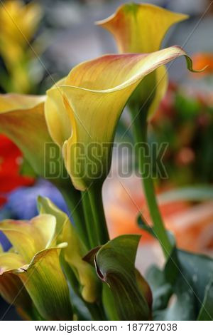 Numerous and colorful calla zantedeschia are blooming in the spring