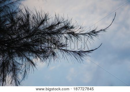 Larch Branch  Close-up