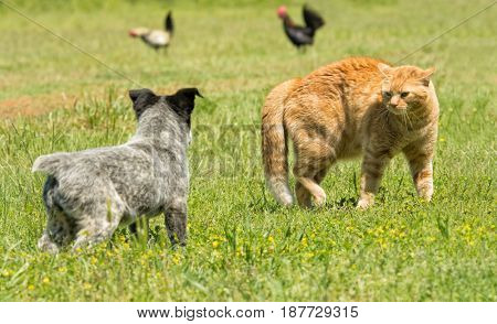 Ginger cat in a threatening stance, bowing his back up to confront a puppy