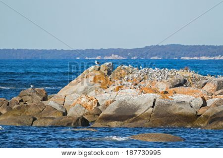 Lots of Aquatic sea birds - Terns, Gulls, Pacific Gull, Lapwings sunbathing on island at Bay of Fires in Tasmania, Australia
