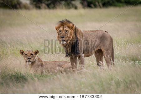 Lion Mating Couple In The High Grass.