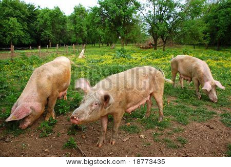 Pigs eating on a meadow