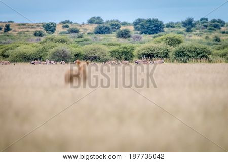 Lion Standing In The Grass And Starring At Oryx.