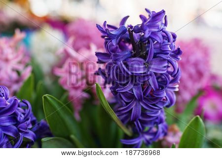 violet blue Hyacinth flower with the pink blurred background in small garden daylight.
