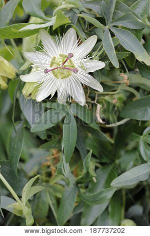 A white passionflower is tickled between the leaves of the garden