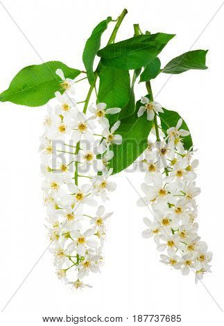 Bird cherry flowers