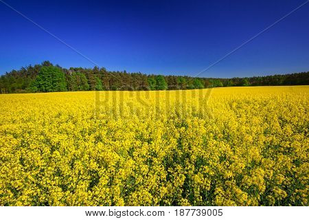 Blooming yellow rapeseed field under blue sky in Poland
