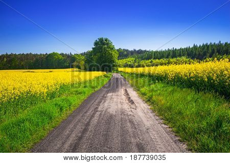 Road through yellow rapeseed field under blue sky in Poland