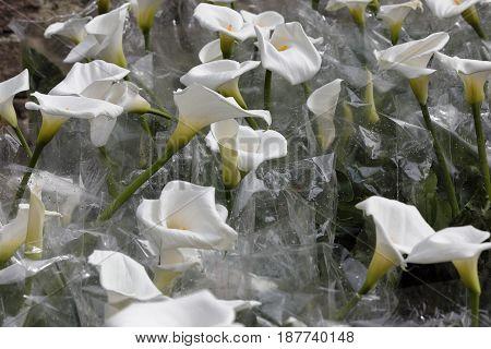 A group of calla zantedeschia packaged for sale
