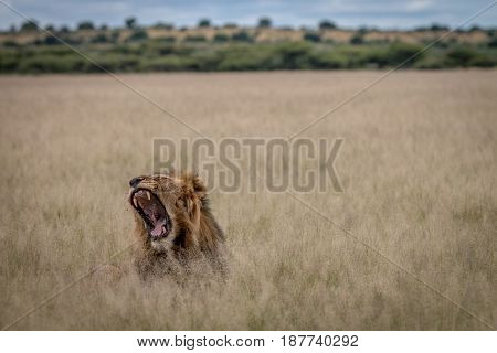 Big Male Lion Yawning In The High Grass.