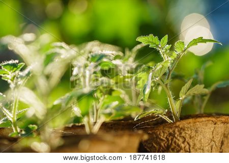 Tomato plants in the early stages of growth.