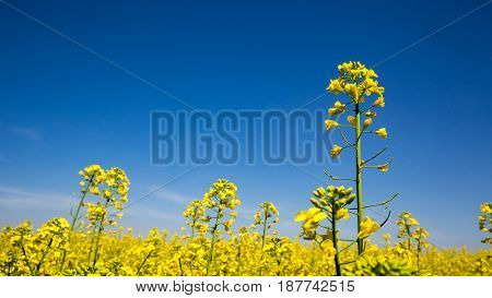 blooming yellow rape on meadow under blue sky