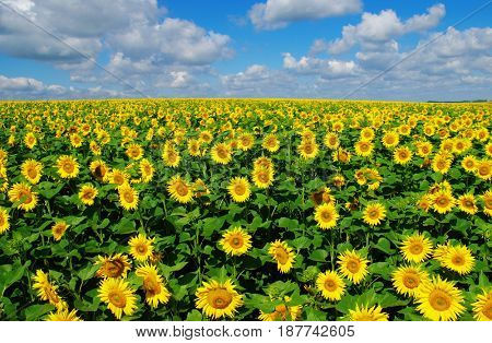 field of blooming sunflowers on a background of blue sky