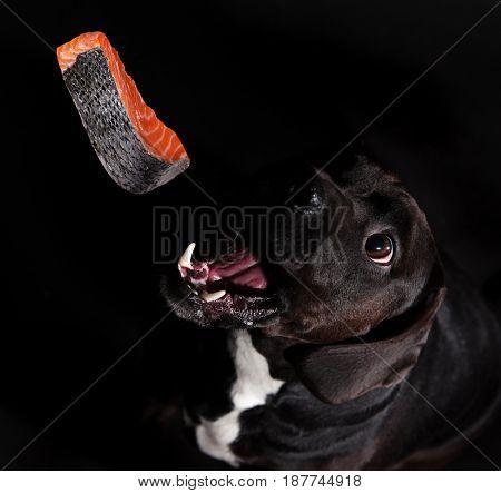 Black dog posed on studio, close-up.