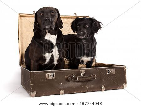 Black dogs posed in old vintage suitcase in studio, close-up.