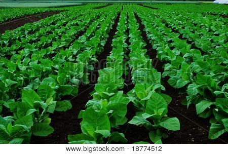 Rows of tobacco plants on a field